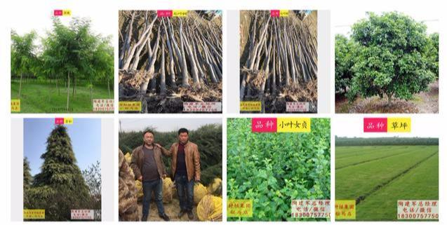 """汝南雪松:种一棵树最好是10年前,其次是现在;长出""""摇钱树"""" 雪松 汝南 南京雪松 农业 三农 第2张"""