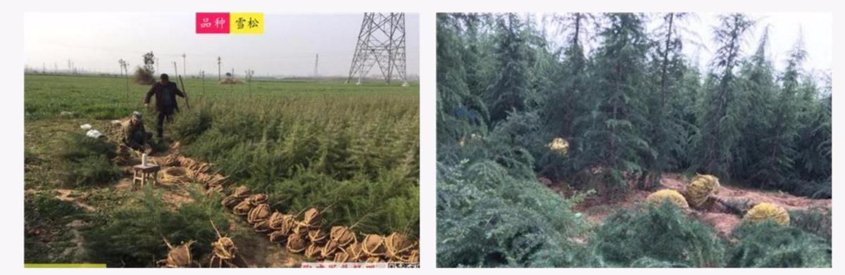 """汝南雪松:种一棵树最好是10年前,其次是现在;长出""""摇钱树"""""""