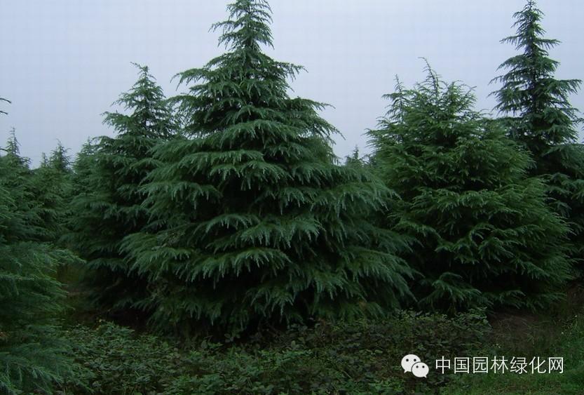 【园林科技】雪松的栽植与养护注意事项