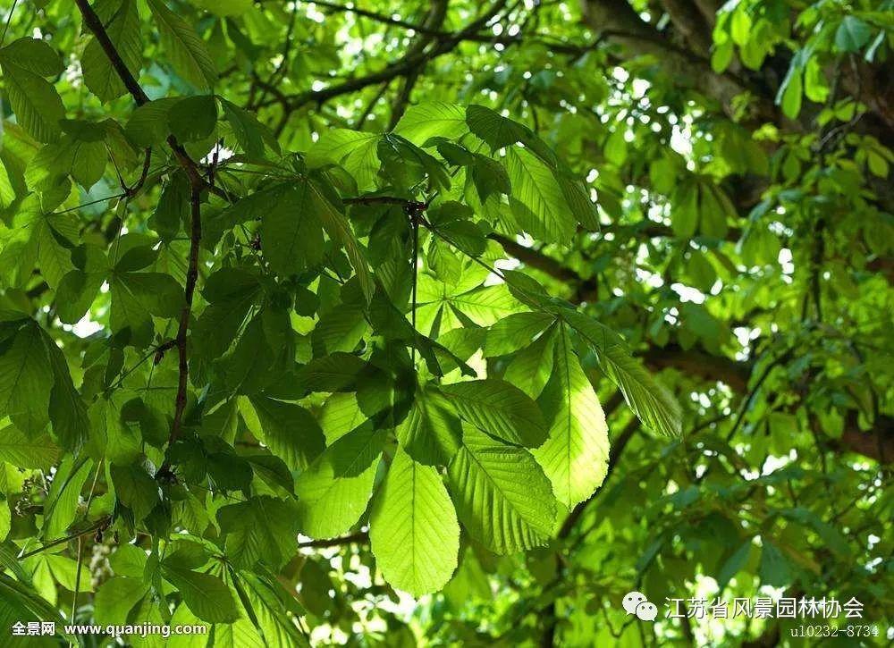 世界著名观赏树种——七叶树